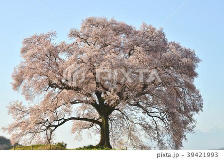 山梨県、わに塚の桜 39421993