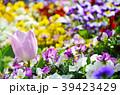 花 ビオラ チューリップの写真 39423429