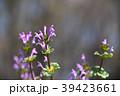 仏の座 サンガイグサ シソ科の写真 39423661