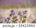 仏の座 サンガイグサ シソ科の写真 39423664