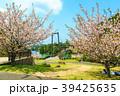 野岳湖 湖 桜の写真 39425635