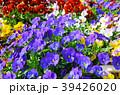 花 ビオラ 花壇の写真 39426020