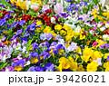 花 ビオラ 花壇の写真 39426021