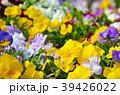 花 ビオラ 花壇の写真 39426022