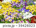 花 ビオラ 花壇の写真 39426023