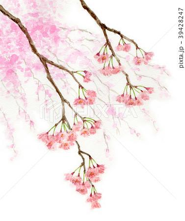 水彩で描いた枝垂れ桜 39428247