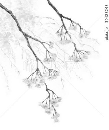 水彩で描いた枝垂れ桜モノクロ 39428248