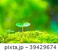 芽生え 双葉 発芽の写真 39429674