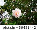 ピンクのサザンカ 39431442