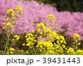 菜の花と桜 39431443