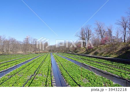 わさび農場(安曇野) 39432218
