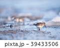 ハマシギ シギ 鳥の写真 39433506