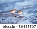 ハマシギ シギ 鳥の写真 39433507