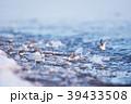 ハマシギ シギ 鳥の写真 39433508