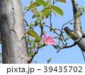 秋に実を着けるカリンのピンクの花 39435702