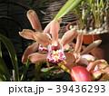 シンビジュームの大きめな桃色の花 39436293