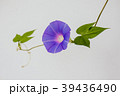 朝顔 植物 夏の写真 39436490