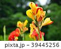 カンナ 花 植物の写真 39445256