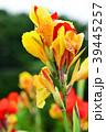 カンナ 花 植物の写真 39445257