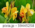 カンナ 花 植物の写真 39445258