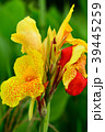 カンナ 花 植物の写真 39445259