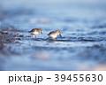 ハマシギ シギ 越冬の写真 39455630