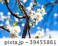 花桃 花 春の写真 39455861