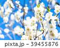 花桃 花 春の写真 39455876