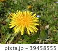 一年中見られる道端の黄色い花タンポポ 39458555