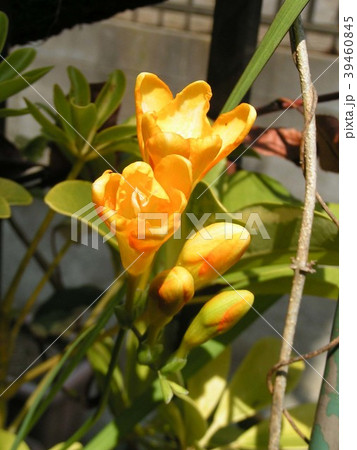 春の黄色い花はフリージアの花 39460845