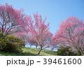 信州新町 梅 春の写真 39461600