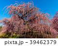 鈴鹿の森庭園 梅 春の写真 39462379