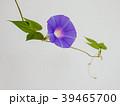 朝顔 植物 夏の写真 39465700