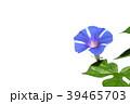 朝顔 植物 夏の写真 39465703
