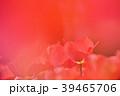 赤 花 チューリップの写真 39465706