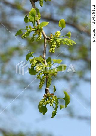 自然 植物 イチョウ、雄株に咲いた雄花。雌株の雌花と比べると圧倒的に花数が多くつきます 39466122