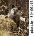 ニホンカモシカ Capricornis crispus Japanese serow 特別天然記念物 39466145