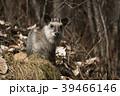 ニホンカモシカ Capricornis crispus Japanese serow 特別天然記念物 39466146