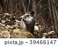 ニホンカモシカ カモシカ 天然記念物の写真 39466147
