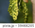 イチョウ 銀杏 公孫樹の写真 39466205