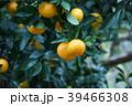 蜜柑 花言葉は「清純」 39466308