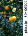 蜜柑 花言葉は「清純」 39466309