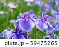 花菖蒲 菖蒲 花の写真 39475265
