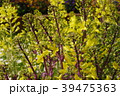 アブラナ科 植物 花の写真 39475363