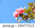 椿 花 植物の写真 39477413