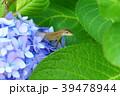 ニホンカナヘビとアジサイの花 39478944