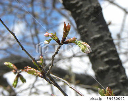 もう直ぐ咲くソメイヨシノの蕾 39480042