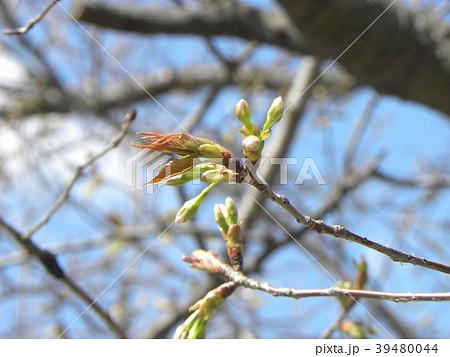 もう直ぐ咲くヤマザクラの蕾 39480044