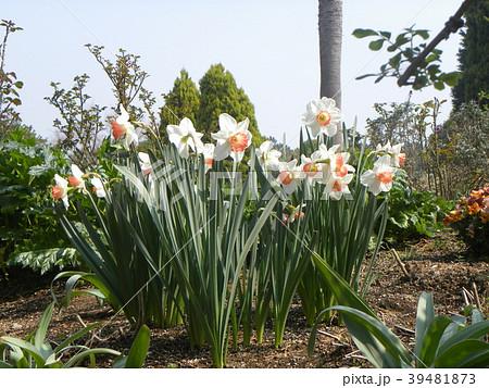 白い副花冠が赤く縁取られた口紅スイセンの花 39481873