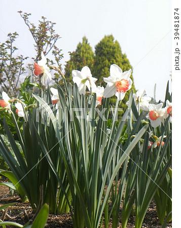 白い副花冠が赤く縁取られた口紅スイセンの花 39481874